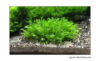 Live Aquarium Plants / Moss on Mesh /Easy/ EU Grown / High Quality