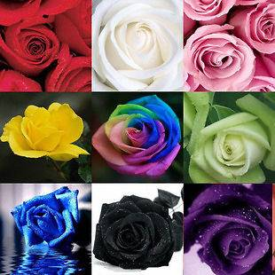 Rare Rose seeds Rainbow Pink Black White Red Purple Green Yellow Blue