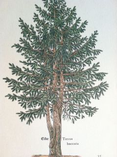 vintage ANTIQUE botanical TREE PRINT forrest PINE CONE wood NEEDLE