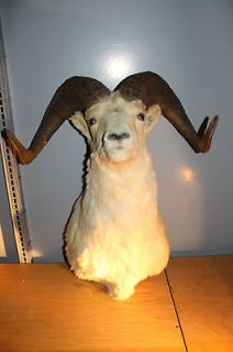 Alaska Dall Sheep Ram Shoulder Head Mount Taxidermy Trophy