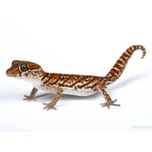 Panther Gecko   Live Pet   Sale