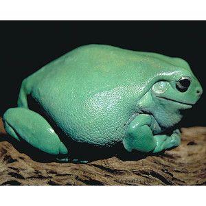 Blue Dumpy Tree Frog   Reptile   Live Pet