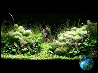 anubias nana live aquarium plant fish tank location malaysia returns