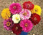 zinnia california giant mix 100 flower seeds