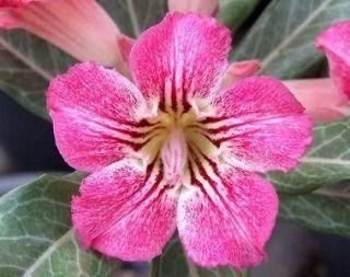 a5 adenium obessum desert rose seeds  5