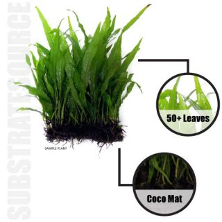 Java Fern Mat   50+ Leaves Microsorum pteropus   Live Aquarium Plant