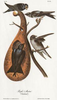 Purple Martin JJ Audubon Fine Bird Book Plate from Limited 1978 Volume