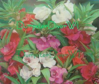 Balsam Camellia Flowered Mix Victorian Garden Favorite
