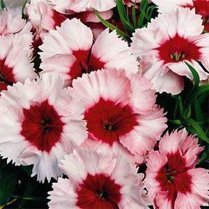 400 Dianthus Super Parfait Strawberry Live Flower Garden Plants