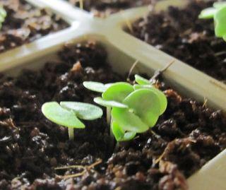 100 Herb Seeds Sweet Thai Asian Basil Ocimum Basilicum King of Herbs
