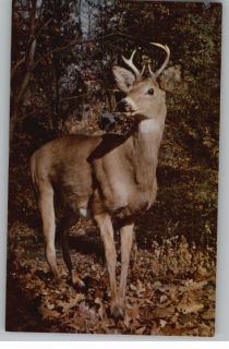 Postcard Greetings from Maine Big Buck Deer Russ Poem