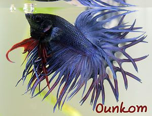 Blue Cross Ray Crown Tail Male Live Betta Fish Imported crowntail