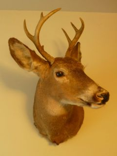 BIG BUCK WHITETAIL DEER MOUNT HEAD TROPHY Taxidermy NR