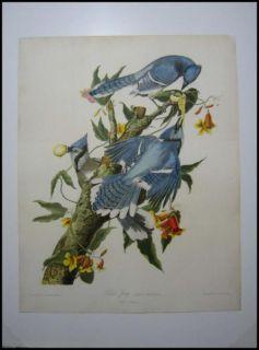1859 Original Audubon Bien Blue Jay Bird Print of Plate 231 Excellent
