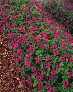 verbena canadensis toronto rose seeds perennial approx 25 seeds per