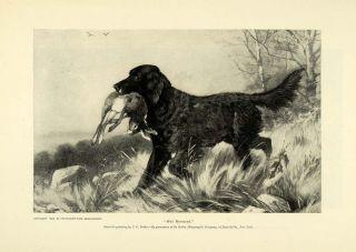 1895 Print Well Retrieved Black Labrador Retriever Dog Hunting Rabbit