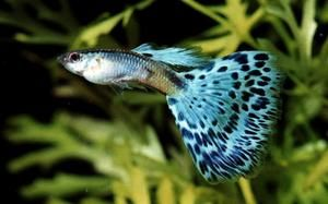 Guppy Pleco Catfish Bettas Larvae Juvenile Tropical Fish Food