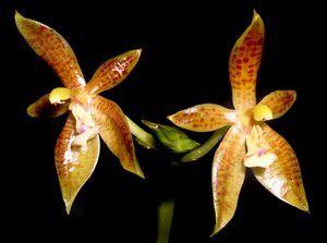 Phalaenopsis Cornu Cervi Species Orchid Plant 2 Spikes