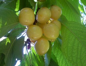 Yellow Cherry Tree 10 Fresh Seeds Anatolian RARE