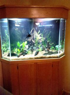 140 Gallon Corner Aquarium with Oak Cabinet Hood