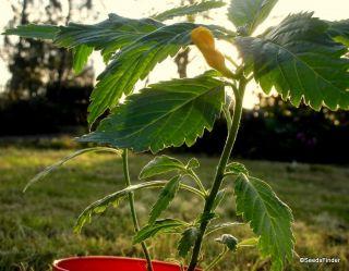 of *Asian Ginseng * Mandrake* Autumn Mandrake *Maca * Damiana * seeds