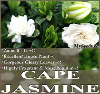 Jasmine Shrub Gardenia Flower Seeds Evergreen Container Pot
