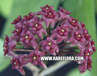 fusca RARE tropical shade plant pretty magenta flowers USA SELLER
