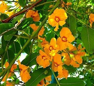 Tipuana tipu fast growing flowering tree seeds quick shade Bolivian