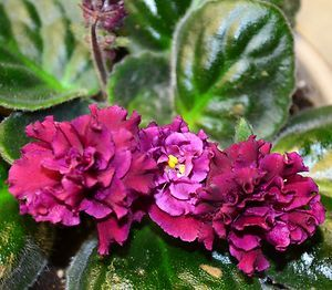 African Violet Flowering House Plant Large Beautiful Flowers