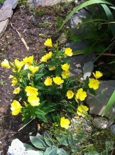 YELLOW BUTTERCUP FLOWERS PERENNIAL FLOWER PLANTS WINTER HARDY