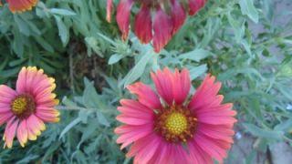 BLANKET OF ORANGE FLOWERS GAILLARDIA 300 FRESH SEEDS CUTTING ZONE 3 9