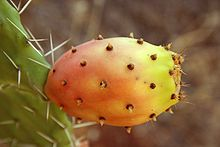 Fresh Seeds Opuntia Ficus Indica Indian Fig Opuntia Barbary Fig