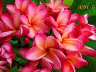Plumeria Seeds Flowers Plants Dangsom Fresh 21 Seeds