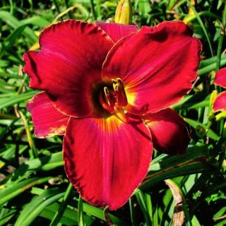 Scarlock Red DAYLILY DF Live Plants Perennial Flowers