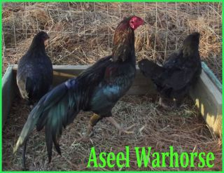 Aseel Warhorse Game Fowl Hatching Eggs 3 1