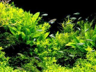 Java Fern x 3 1 Free Live Aquarium Plant Moss Anubias