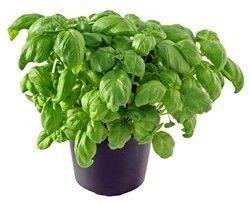 Heirloom Herbs Genovese Basil Best for Pesto 100 Seeds