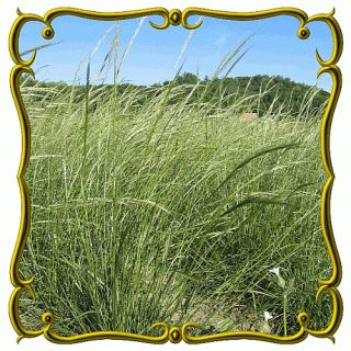 lb Green Needle Grass Bulk Wild Grass Seeds