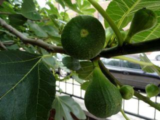 Brooklyn Italian Fruit Fig Tree Cuttings Grow Your Own Plant