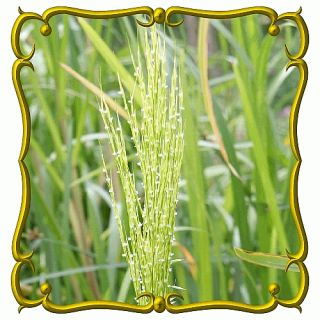 oz Wild Rice Bulk Wild Grass Seeds