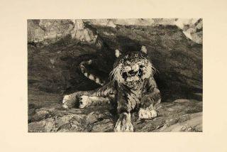 1893 Print Tiger Big Cat Cave Adolf Menzel VERY NICE   ORIGINAL