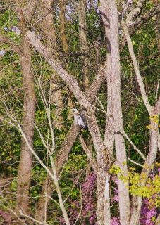 Blue Heron Bird Lake Art Photography Digital Picture Spring Woods