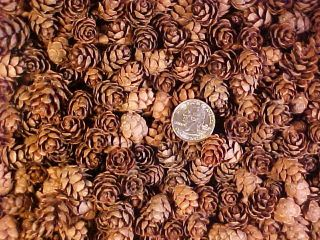 350 SMALL MINI BABY PINE CONES HEMLOCK CONE HOLIDAY CRAFTING CRAFTS