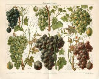 1894 Grape Wine Grapes Red White Antique Chromolithograph Print