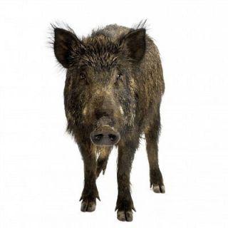 Blitzkrieg Game Calls Hog Lure Bait Boar Hog Hunt Wild Boar