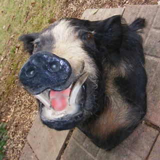 Wild Feral Hog Pig Boar Shoulder Mount Taxidermy Unusual Coloration