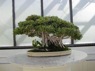Easy Indoor Bonsai Trees 10 Packs of Fresh Seed 9