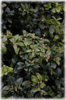 Inglis Boxwood Low Maintenance and Very Hardy 20