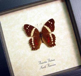 Species Anartia Fatima Native Origin NORTH AMERICA