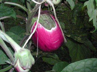 Italian Pink Eggplant 25 Seeds